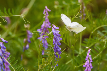 White butterfly flying to a lavender flowering plant