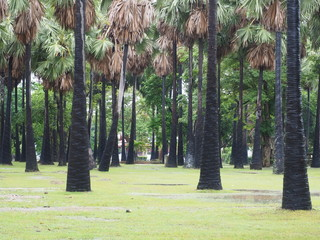 Landscape sugar palm tree on park.