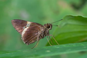 White-tipped Palmer(Lotongus calathus balta Evans), Butterfly on green leaves with green background.