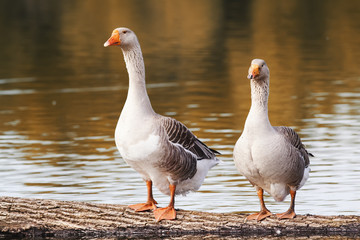 two Greylag geese are at the pond in the village