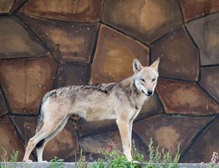 Wolf stands on the stone wall background