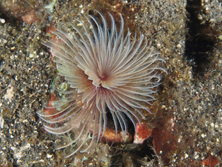 Duster worm Bispira sp.