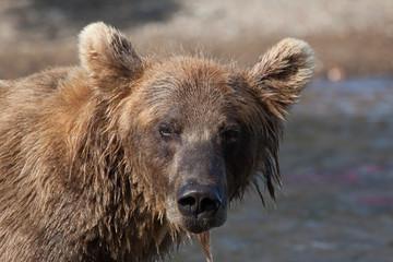 heard bear close up. Kamchatka