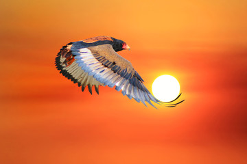 Bateleur Eagle - African Wild Raptor Background - Flight of the Sun