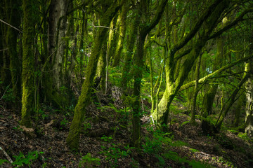 Forest at Garajonay National Park, La Gomera, Canary Islands, Spain