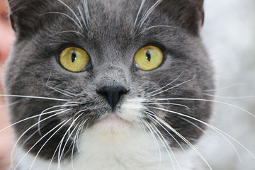gray cat close-up