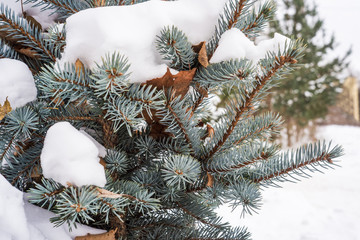 Blue fir cones and needles under the snow. Natural winter background
