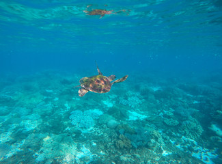 Sea turtle in blue water of tropical lagoon. Green turtle swimming underwater close photo.