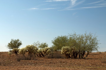 Cholla Patch with Mesquite