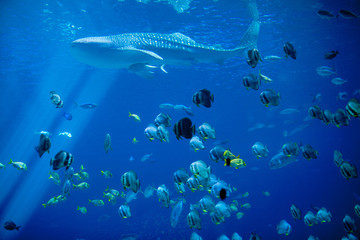 whale shark and school of fish
