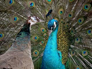 孔雀のオスとメスが向き合い(緊張感漂う)