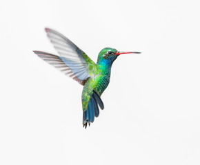 Photo sur cadre textile Oiseau Broad Billed Hummingbird. Using different backgrounds the bird becomes more interesting and blends with the colors. These birds are native to Mexico and brighten up most gardens where flowers bloom.