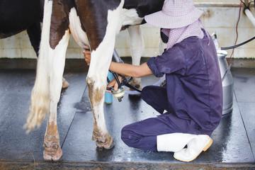Milk cattle