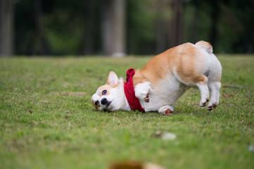 The corgi dog on the grass in the park