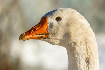 Голова белого домашнего гуся