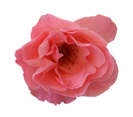 Pink rose on isolated background