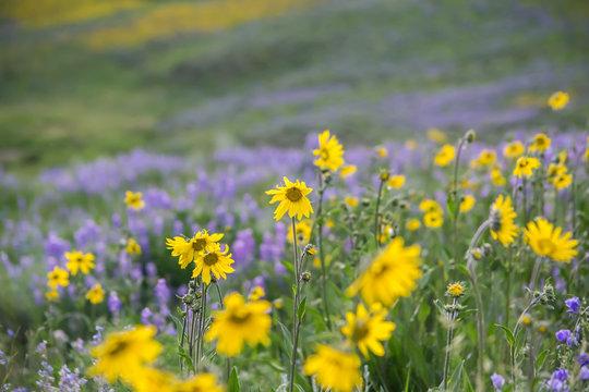 Colorado Meadow