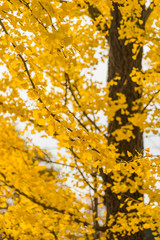 colorful yellow ginko leaves branch tree in showa kinen park, To