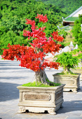 Amazing red Bonsai tree growing in pot outdoors