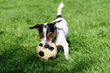 Dog biting football ball playing on green grass
