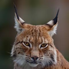 Printed roller blinds Lynx Siberian lynx