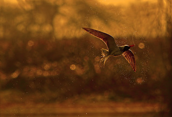 River tern moving in Air at Sunset