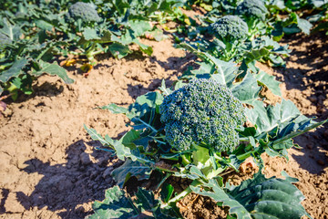 Harvest ripe organically grown broccoli in a sunny field