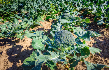 Harvest ripe organically grown broccoli in a sunny field