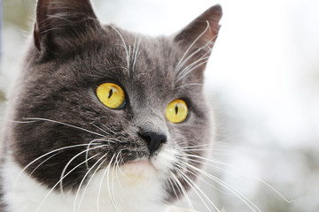 face gray cat close-up