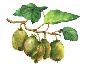 Illustration of kiwi plant (Actinidia chinensis) a branch with leaves and fruits.  Hand drawn watercolor painting on white background.