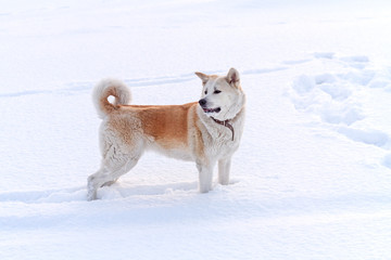Japanese Akita dog stands in a deep snowdrift.