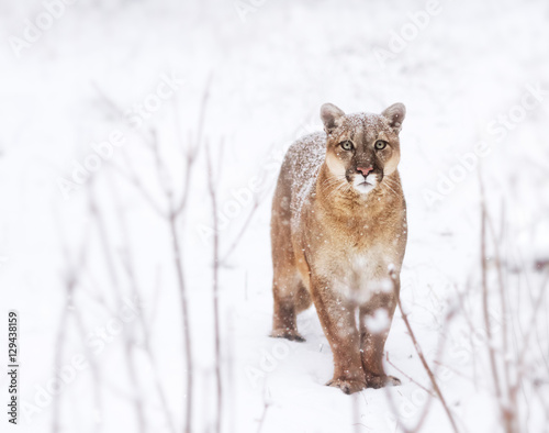 Puma in the woods, Mountain Lion look, single cat on snow. eyes of a predator