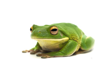 frog white isolated