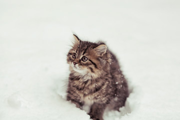 fluffy Siberian cat in snow isolated on a white background