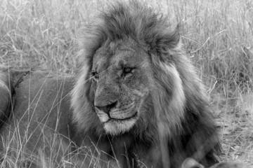 Male Lion observing activity