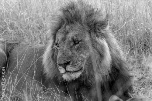 Male Lion observing activity