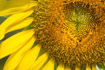 Close up of sunflower flower (bee in pollen)