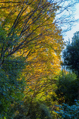 Yellow leaves of ginkgo at japan