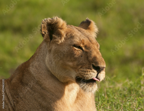 Happy Lioness, Kenya
