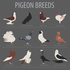 Poultry farming. Pigeon breeds icon set. Flat design