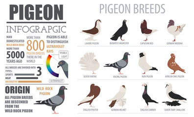 Poultry farming infographic template. Pigeon breeding. Flat desi