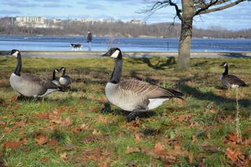 Beautiful Geese