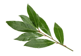 Fresh bay leaves isolated without shadow