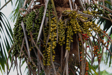 date fruits, canary island date palm tree