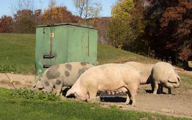 Four female pigs