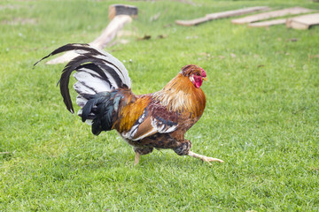 Rooster on a grass