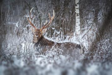 Олени в зимнем лесу