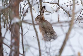 Заяц в зимнем лесу