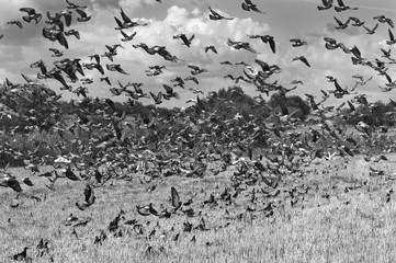 Soaring over field after harvest of rye harvested doves.