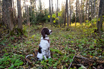 Cute Puppy English Springer Spaniel lying on the nature